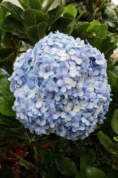 Hydranda in Bloom