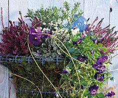 Plantes en pot pour un hiver coloré. Bruyère, gaultheria et viola : la cascade fleurie.