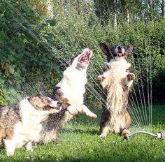 Instant entertainment: turn on the sprinkler!!