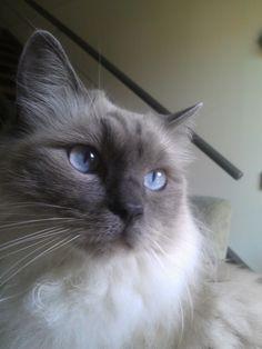 My beautiful ragdoll Leopold