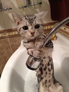 Cat Bathing cool 22 Hilarious Pictures Of Wet Cats(Cat bath) - Let see pictures of cat bath/wet cat, Cats are cute and cuddly animals. The independent nature of cats makes them an ideal choice as pets. Cute Kittens, Cats And Kittens, Cats Meowing, Cats Bus, Kitty Cats, Baby Animals, Funny Animals, Cute Animals, I Love Cats