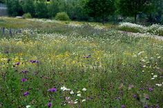 Colour stripes. Perennial seed mixes. Native wildflowers + some additions to heighten colour effects.  Olympic Park