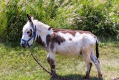 Jake is an adoptable Donkey Donkey in Malvern, IA. Jake is a 2 year old minature donkey that has a wonderful personality. He would make a perfect pet for the first time donkey owners. Come visit him t...