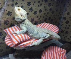 LRG ORANGE STRIPES PRINT ATTACHABLE RESTING BED SET SOFT COVER 4 BEARDED DRAGONS | eBay