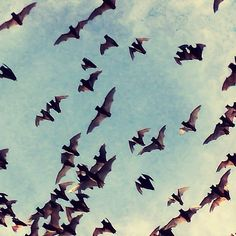 Nature photography bats in flight - Texas wings small tiny cute animals blue cloudy sky silhouette Nature Photography