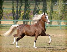 I'd love to ride a gaited horse one day.  Peruvian Pasos, in particular, are said to be the smoothest horses in the world.