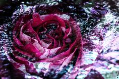 #OltreleVisioni #rose #flower #water #photo ©Desideriphoto