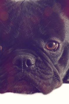 French Bulldogs come in a variety of colors, consisting of fawn, cream, various shades of brindle– a coat patterned with specks and streaks of light and dark markings– such as black brindle and the striking tiger brindle, and brindle and white, known as brindle pied. French Bulldogs can be any color other than solid black, liver (a strong reddish-brown with brown pigmentation on the lips and nose), mouse (a light steely gray), and black with white or tan. Here's A Hint. Your Do White French Bulldogs, Solid Black, Black And White, Funny French, How To Cut Nails, Good Neighbor, Dog Barking, Coat Patterns, Reddish Brown