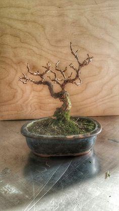 Bonsai, L'ABC del Verde, Gelso  #bonsai #L'ABCdelVerde