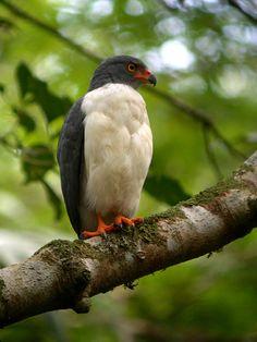 Leucopternis semiplumbea - Semiplumbeous Hawk