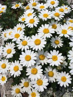 Marguerite Spring White