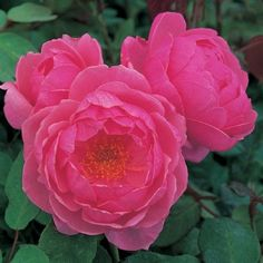 Breeders of the English Roses. Specialist growers of old, shrub, species, climbing and modern roses. Flowers Nature, Real Flowers, Pretty Flowers, Flower Arrangements Simple, Garden Bulbs, Old Rose, Rose Pictures, David Austin Roses, Planting Roses