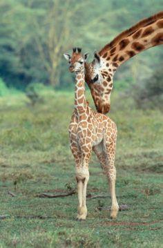 What's cuter than a giraffe? A baby giraffe! The Animals, Cute Baby Animals, Funny Animals, Wild Animals, Beautiful Creatures, Animals Beautiful, Tier Fotos, African Animals, African Safari