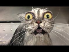 omg no words wet cat bath Crazy Cat Lady, Crazy Cats, I Love Cats, Cute Cats, Animal Pictures, Funny Pictures, Hilarious Photos, Funniest Pictures, Funny Animals