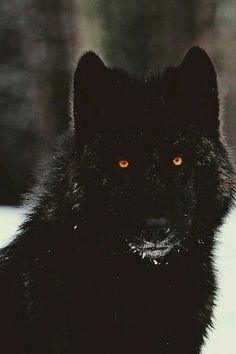 A black wolves stunning yellow/orange eyes
