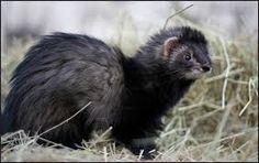 「UK animal ferrets toy」の画像検索結果