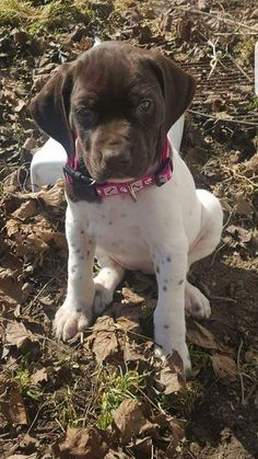 My German Shorthair Pointer As a Puppy https://ift.tt/2IRpo6y cute puppies cats animals #germanshorthairedpointer #germanshorthairedpointerpuppy