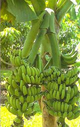Search results for: 'Musa_Double_Mahoi_Banana_Gal_Pot' Banana Plants, Fruit Plants, Fruit Garden, Fruit Trees, Trees To Plant, Exotic Fruit, Tropical Fruits, Tropical Plants, Bananas
