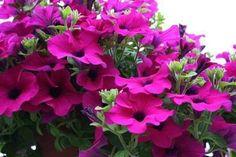Převislé balkonové rostliny, letničky, muškáty, surfinie | Zahradnictví Kývala