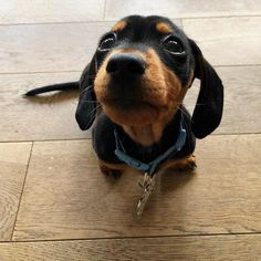 """Visit our internet site for additional info on """"dachshund puppies"""". It is actually a great area to learn more. Dachshund Clothes, Dachshund Gifts, Funny Dachshund, Dachshund Love, Dachshunds, Funny Pugs, Doggies, Dapple Dachshund Puppy, Labrador Retriever Dog"""