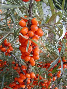 NAŠE ZAHRADY: Rakytník řešetlákový Comment Planter, Plantation, Pesto, Diy And Crafts, Gardening, Vegetables, Food, Europe, Gardens