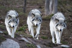 wolveswolves:  Gray wolf (Canis lupus) by Etienne242 on DeviantArt