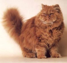 Persian Cat... Hee hee!!!