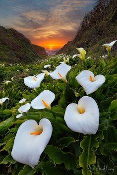 Paradise Cove - Calla Lily field, Big Sur, California