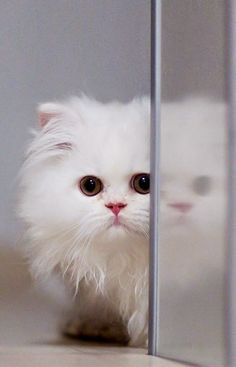 5 most affectionate cat breeds, cutest cats ever!!