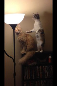 It's just a lamp, crazy cats.
