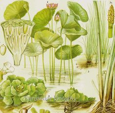 Chinese Water Chestnut Lotus Aquatic Asian Vegetable Plant Flower Food Chart Botanical Lithograph Illustration For Your Vintage Kitchen 33