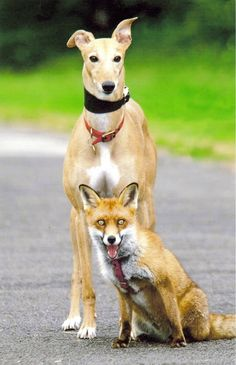 The Greyhound and Her Fox Kit | 19 Photos That Prove Love Knows No Bounds