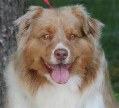 lobos austrailn shepherd (Ace)