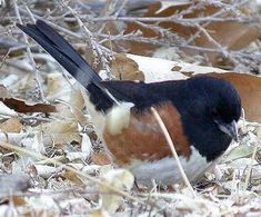Rufous-sided Towhee, a staggeringly gorgeous bird that's tragically prone to window strike death because of its territorial nature.     I've buried far, far too many males who perished because reflections in the windows of my office were mistaken for territorial rivals. Times like these, I almost wish I weren't human. The rufous-sided towhee is a  wholly lovely animal.