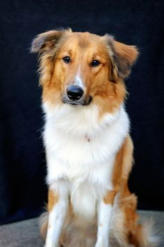 Old Time Scotch Collie - Rook