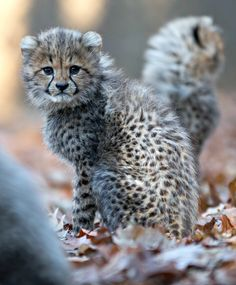 Netherlands Burgers Zoo, 6 Cheetahs born September 2016.