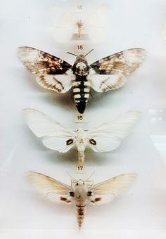 Death's-head Hawkmoth, photo: Ana Van Aerden. #moth #skull
