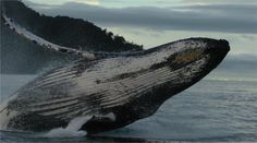 A humbpack whale surfaces from the ocean at the Utria Lagoon in Choco