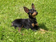 Happy Pet: Conheça o Prazsky Krysarik