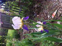 Old fashion iris very fragrant