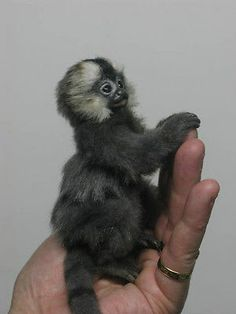 OOAK Baby Marmoset Monkey Handmade Realistic Artist Bear by Angelica Marmoset Monkey, Material Art, Primates, Soft Sculpture, Stuffed Toys Patterns, Adorable Animals, Doll Toys, Needle Felting, Fun Things