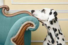 Deciding if your dog is allowed access to the furniture is a pretty big deal. If you have a big dog, it's an even bigger deal. Click here to read more about dogs on furniture http://www.howtobeadogtrainer.co.uk/dogs-on-furniture