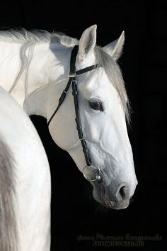 Andalusian  Horse - Horse Photography - u383