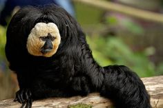 Not exactly sure what this is... beautiful photograph though!  White-faced Saki (Pithecia pithecia)
