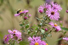 Autumn Panicled Asters and Bees in Logan's Garden.