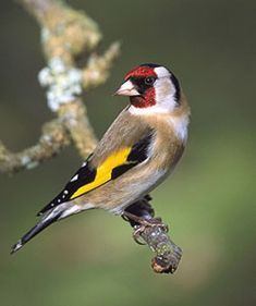 Goldfinch - Carduelis carduelis The Goldfinch is one of the largest of the finch…