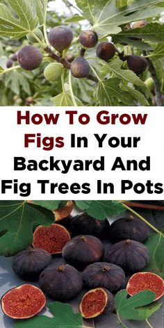How To Grow Figs In Your Backyard And Fig Trees In Pots Fruit tree garden, Fruit trees backyard, Pot Fruit Tree Garden, Garden Trees, Garden Pots, Fig Fruit Tree, Potted Garden, Organic Gardening, Gardening Tips, Gardening Vegetables, Gardening Quotes