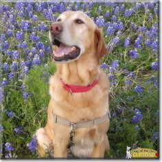 Read Clifford's story the Golden Retriever, Labrador mix from Austin, Texas and see his photos at Dog of the Day http://DogoftheDay.com/archive/2014/March/11.html .