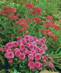 Chrysanthemums: Grown as annuals or perennials, they enhance the fall landscape. Get inspired here http://www.finegardening.com/design/articles/chrysanthemums-garden-mums.aspx#