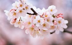 Flower Cherry Blossoms Flowers Spring Nature Kwiaty Wini Wallpaper And Backgrounds